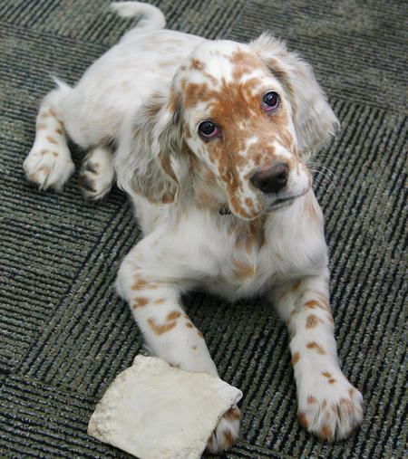 Addison the English Setter Pictures 245360