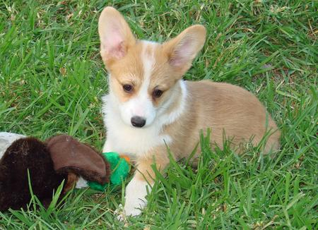 Cloe the Pembroke Welsh Corgi Pictures 115299