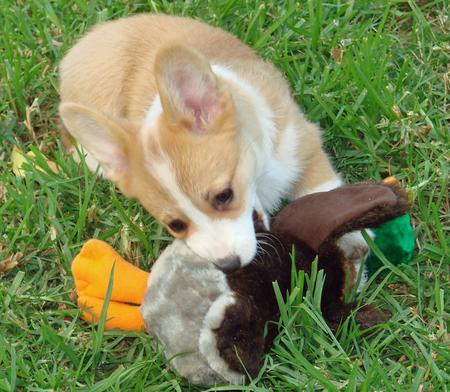 Cloe the Pembroke Welsh Corgi Pictures 115298