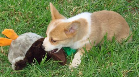 Cloe the Pembroke Welsh Corgi Pictures 115297