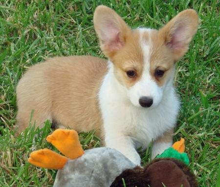 Cloe the Pembroke Welsh Corgi Pictures 115293