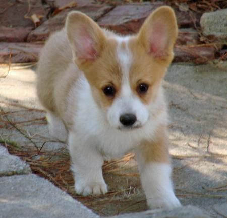 Cloe the Pembroke Welsh Corgi Pictures 115296