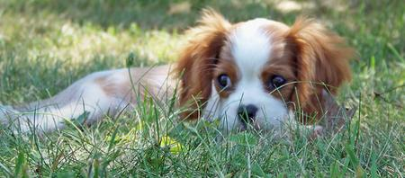Penelope the Cavalier King Charles Spaniel Pictures 228645