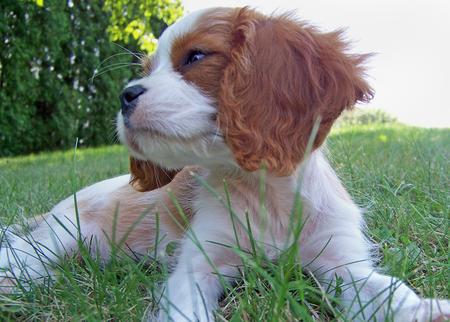 Penelope the Cavalier King Charles Spaniel Pictures 228646