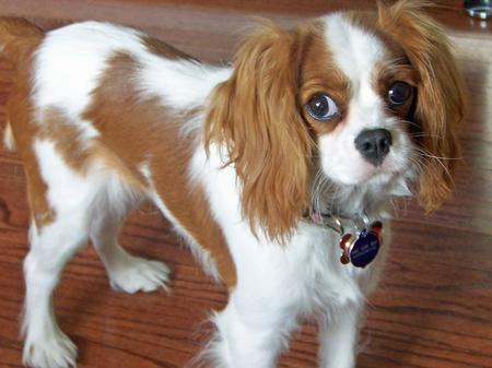 Penelope the Cavalier King Charles Spaniel Pictures 228647