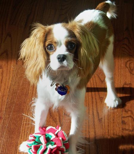 Penelope the Cavalier King Charles Spaniel Pictures 228648