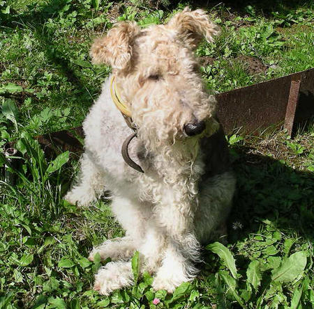 Nika the Wire Fox Terrier Pictures 230580