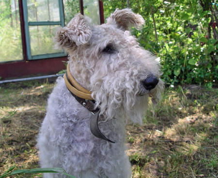 Nika the Wire Fox Terrier Pictures 230579
