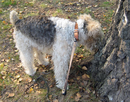 Nika the Wire Fox Terrier Pictures 230578
