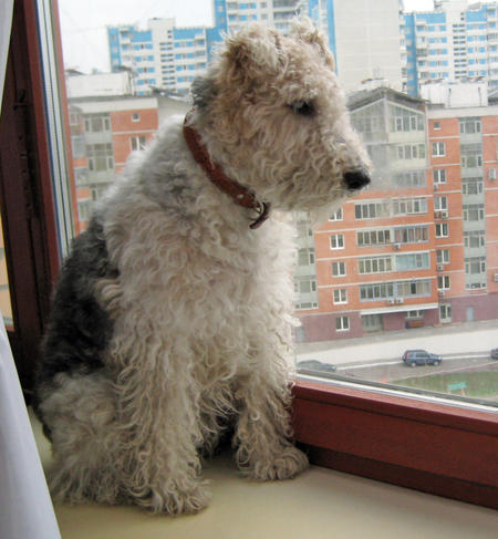Nika the Wire Fox Terrier Pictures 230576