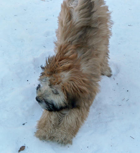 Merrie the Wheaten Terrier Pictures 231686