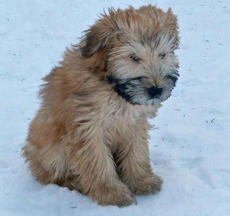 Merrie the Wheaten Terrier Pictures 231685