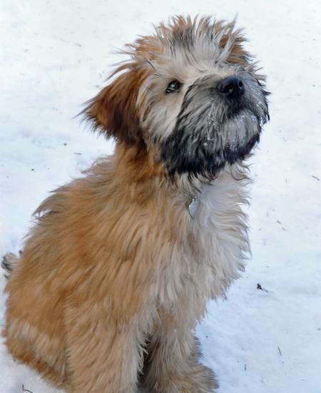 Merrie the Wheaten Terrier Pictures 231684