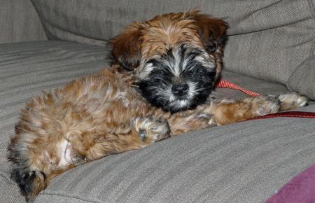 Merrie the Wheaten Terrier Pictures 231683