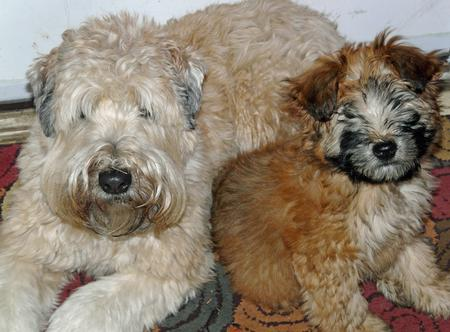 the traditional soft coated wheaten terrier haircut dog the traditional soft coated wheaten terrier haircut dog