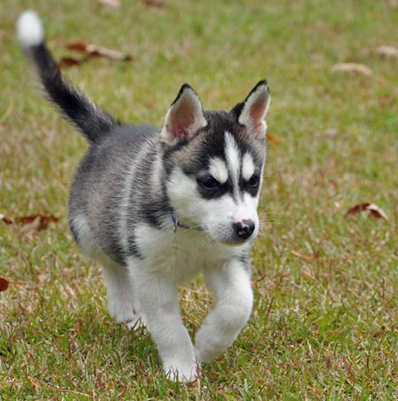 Lincoln the Siberian Husky Pictures 228389