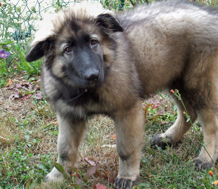 Colt the Shiloh Shepherd Pictures 246493