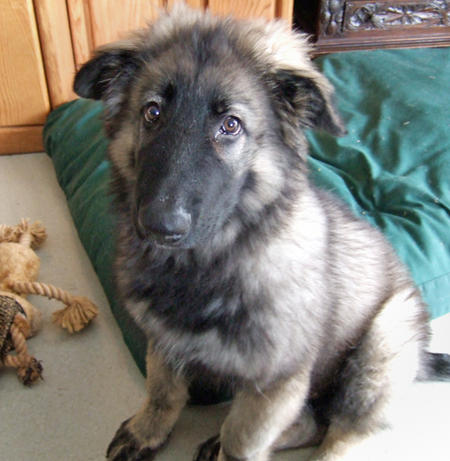 Colt the Shiloh Shepherd Pictures 246482