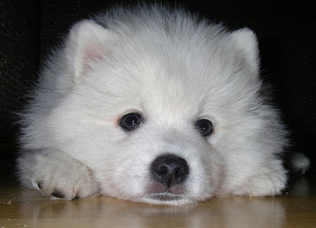 Shiro the Japanese Spitz Pictures 230970
