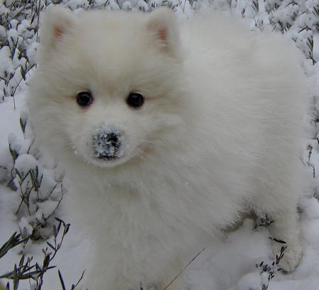 Shiro the Japanese Spitz Pictures 230969