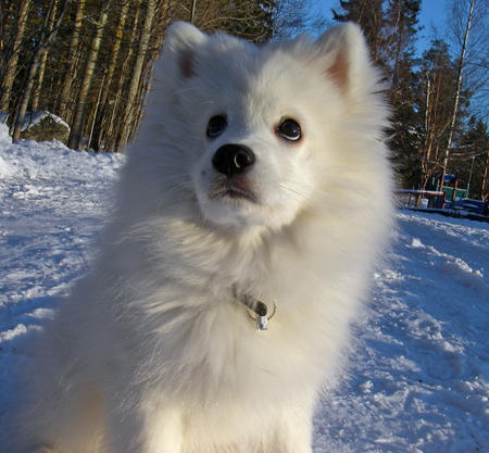 Shiro the Japanese Spitz Pictures 230974