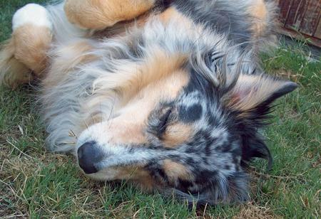 Bella the Australian Shepherd Pictures 348730