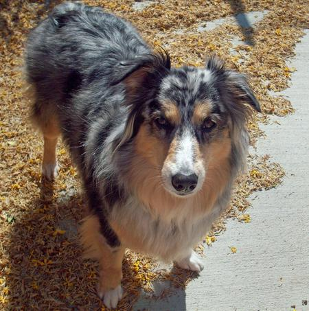 Bella the Australian Shepherd Pictures 348729