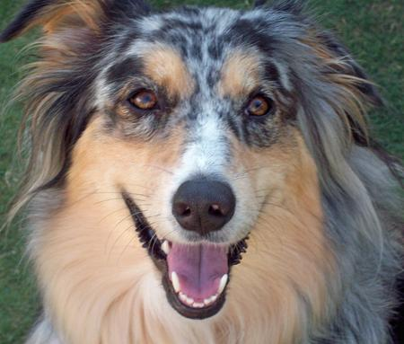 Bella the Australian Shepherd Pictures 348725
