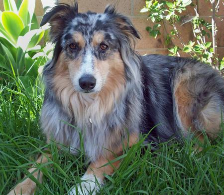 Bella the Australian Shepherd Pictures 348724