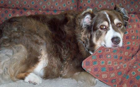 Amber the Australian Shepherd Pictures 287389