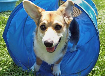 Ronin the Pembroke Welsh Corgi Pictures 85884