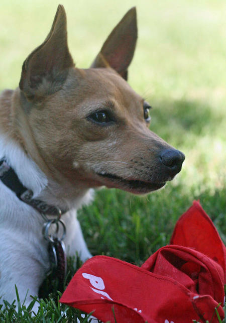 Maddie the Toy Fox Terrier Pictures 389040