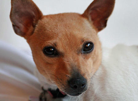 Maddie the Toy Fox Terrier Pictures 389037