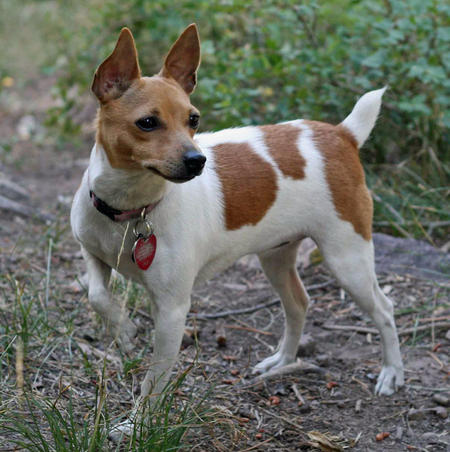 Maddie the Toy Fox Terrier Pictures 389036