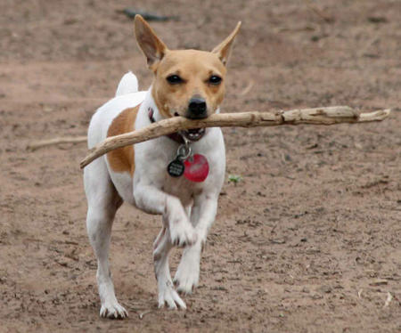 Maddie the Toy Fox Terrier Pictures 389035