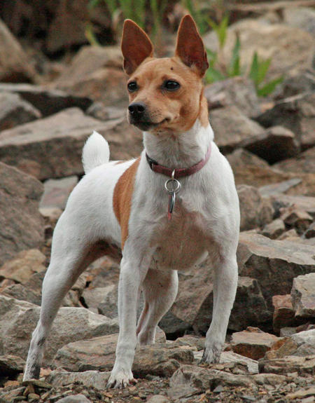 Maddie the Toy Fox Terrier Pictures 389034