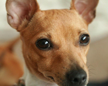 Maddie the Toy Fox Terrier Pictures 389031