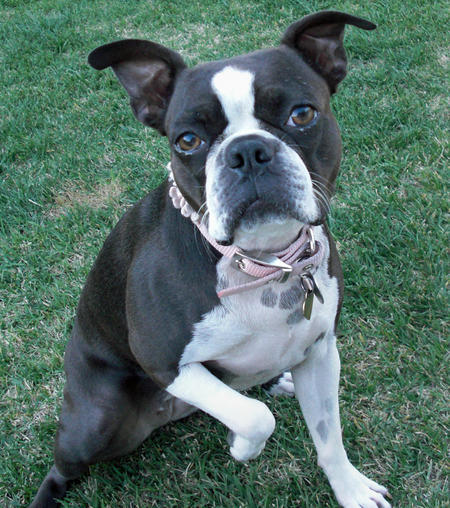 Nani the Boston Terrier Pictures 234088