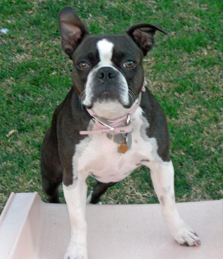 Nani the Boston Terrier Pictures 234089