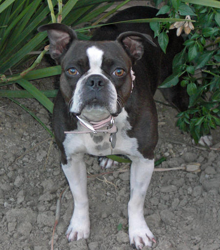 Nani the Boston Terrier Pictures 234087
