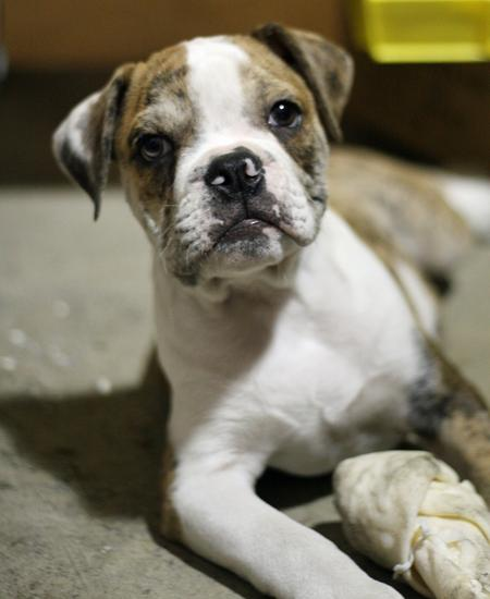 Portis the Bulldog Pictures 242220