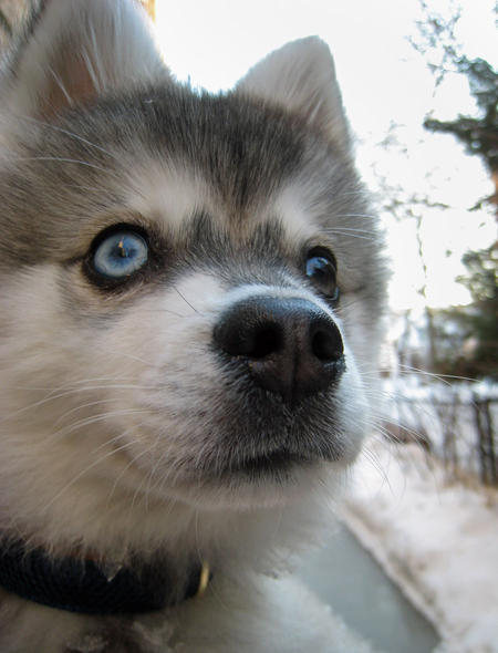 Jake the Alaskan Klee Kai Pictures 235586