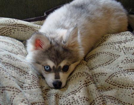 Jake the Alaskan Klee Kai Pictures 235578