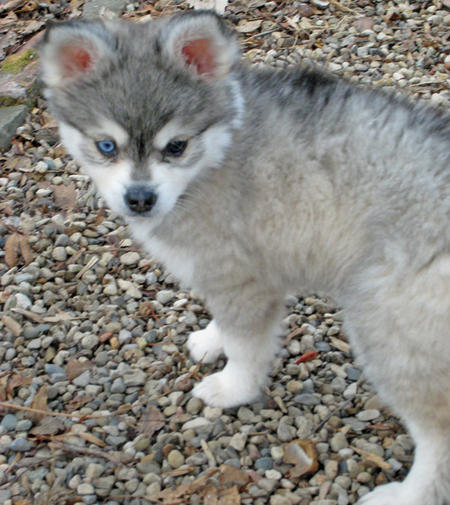 Jake the Alaskan Klee Kai Pictures 235575