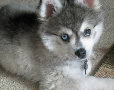 Jake the Alaskan Klee Kai Pictures 235574