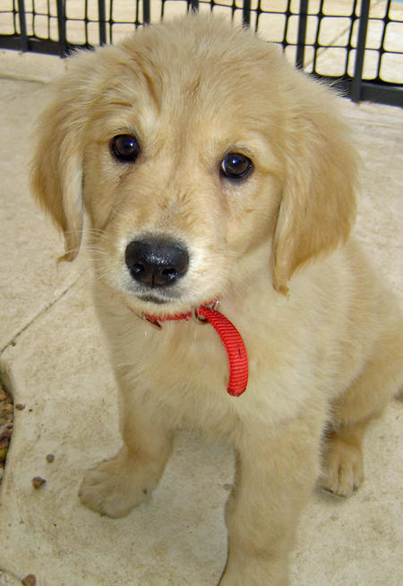 Honey the Golden Retriever Pictures 384754