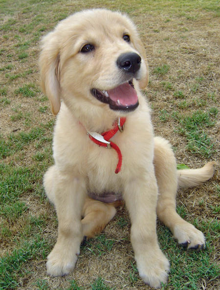 Honey the Golden Retriever Pictures 384750