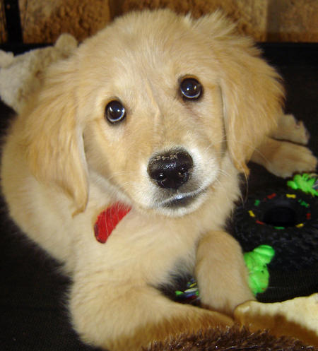Honey the Golden Retriever Pictures 384747