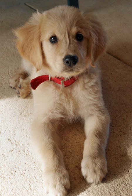 Honey the Golden Retriever Pictures 384744