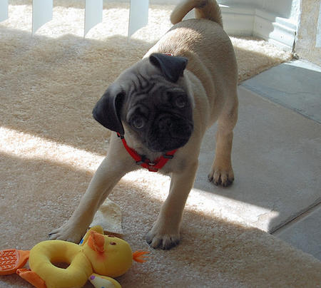 Mugsey the Pug Pictures 237968